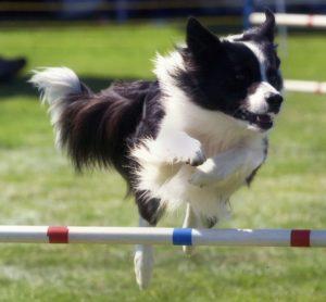 agility-border-collie